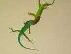Lézards Anolis