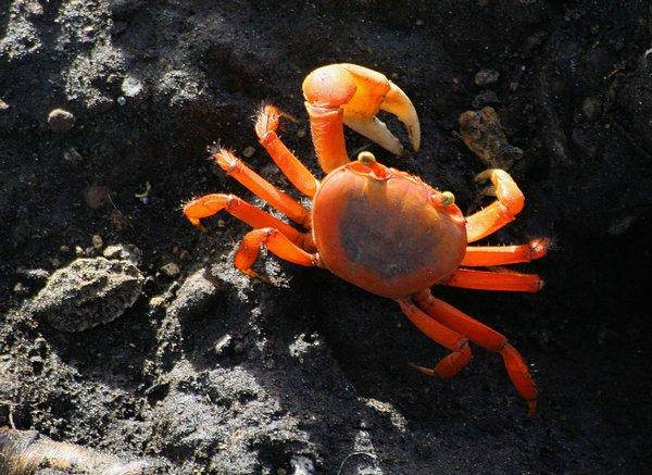 Crabe ewe Crabe005