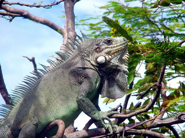 Iguane au Fort